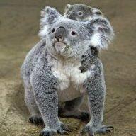 Koala-Mummy